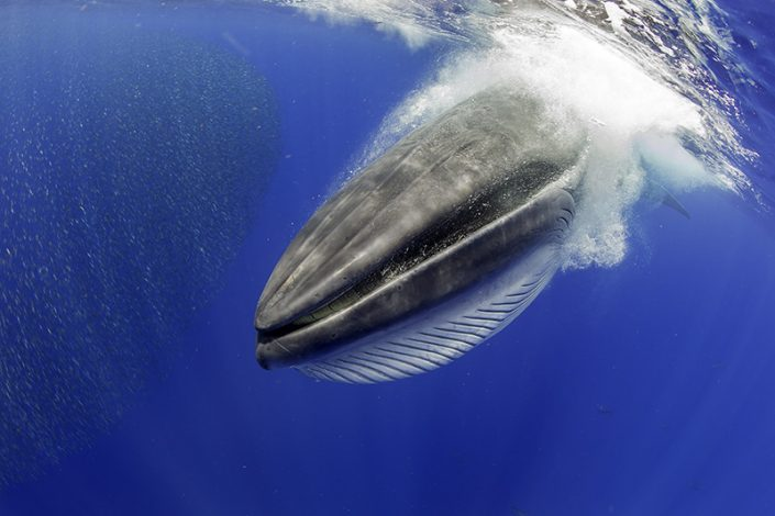 2_6 CANARY ISLANDS. BRYDE´S WHALE