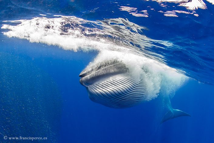 2_20 BRYDE´S WHALE CANARY ISLANDS.