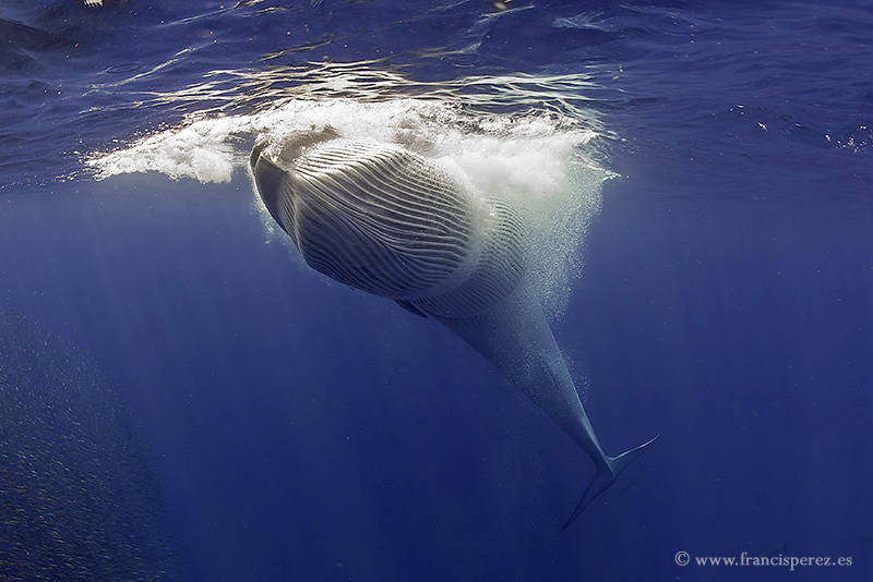 2_21 BRYDE´S WHALE. CANARY ISLANDS