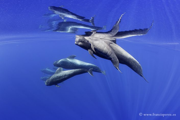 2_28 PILOT WHALES. CANARY ISLANDS