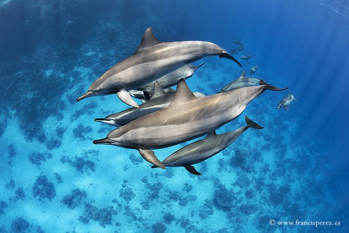 2_30 SPINNER DOLPHINS. RED SEA