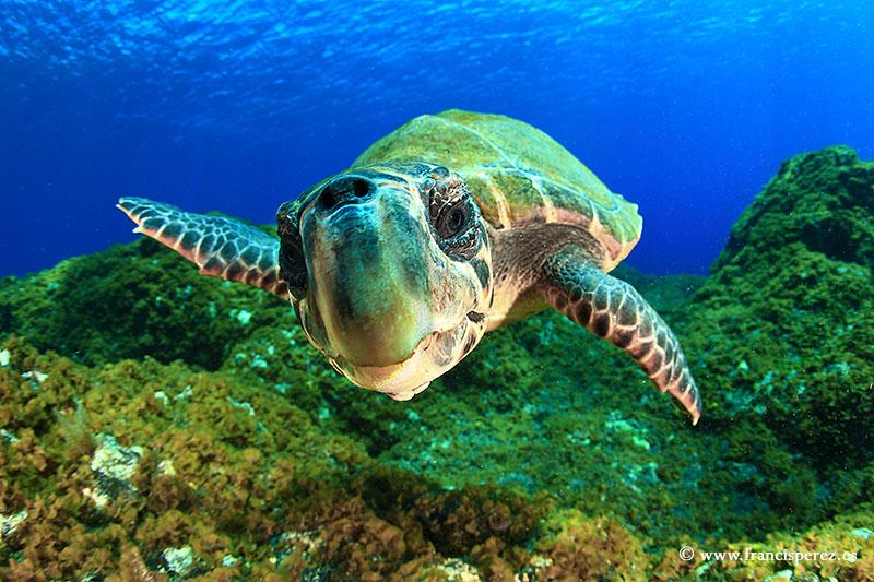 3_18 CAREY SEA TURTLE. CANARY ISLANDS