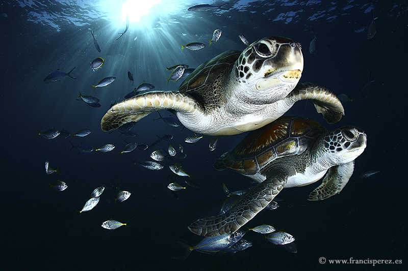 3_20 GREEN SEA TURTLES. CANARY ISLANDS