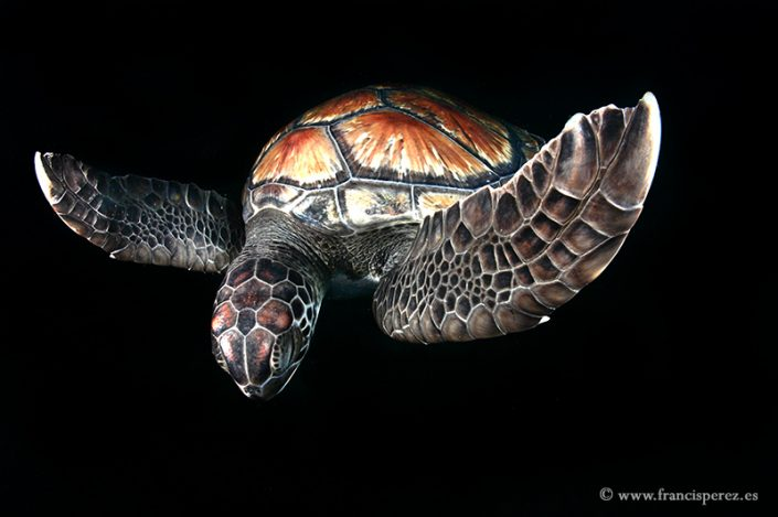 3_23 GREEN SEA TURTLE. CANARY ISLANDS. LIMITED EDITION. Not available in on line shop, ask the author