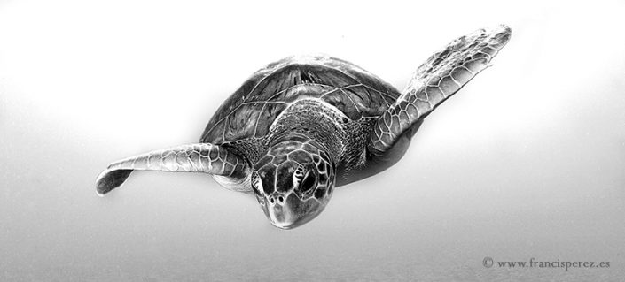 3_27 GREEN SEA TURTLE. CANARY ISLANDS. LIMITED EDITION. Ask the author