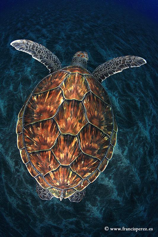 3_28 GREEN SEA TURTLE.CANARY ISLANDS