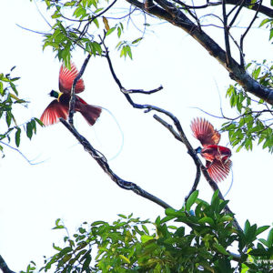 4_16 PARADISE BIRDS. WEST PAPUA. INDONESIA
