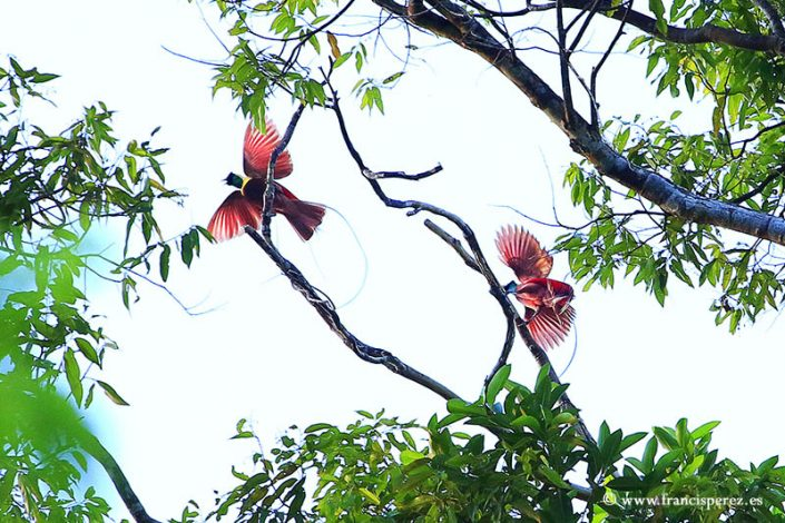4_16 PARADISE BIRDS. WEST PAPUA. INDONESIA